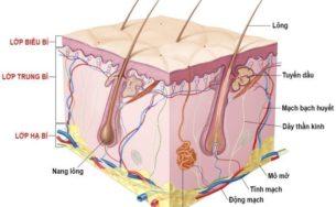 Tìm hiểu kiến thức tổng quan về cấu trúc da người