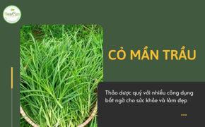 Cỏ mần trầu – cây mọc dại nhưng có nhiều tác dụng tuyệt vời